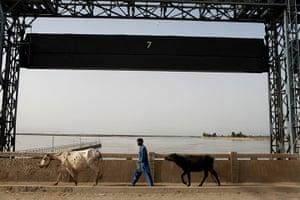 Pakistan floods- Punjab: A man walks across the Taunsa Barrage
