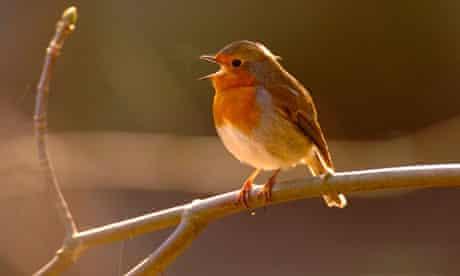 Singing Robin Perching on Branch