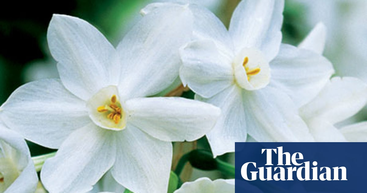 More Interesting Than Food Narcissus >> Alys Fowler Narcissi Life And Style The Guardian