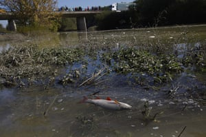 Toxic Spill Update: A dead fish is seen in the Marcal river in Koronco