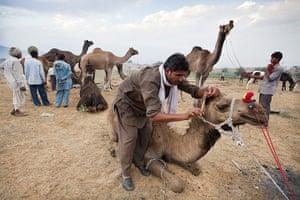 Pushkar camel fair: A Raika herdsman trims the ear hair of one of his camels