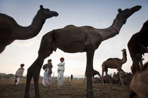 Pushkar camel fair: Bhairav and his two partners are interested in this camel