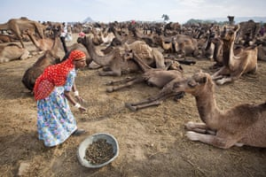 Pushkar camel fair: One of the jobs carried out by local women is to collect camel dung