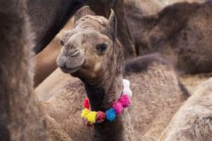 Pushkar camel fair: This young camel has been sold