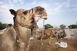 Pushkar camel fair: Individual markings on the camel's face help identify its origin