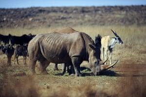 rhinoceros : (FILES) In a file picture taken on July