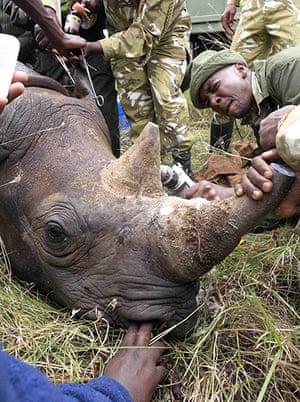 rhinoceros : KWS wardens insert a transmitter on a tranquillised male black rhino