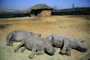 rhinoceros : the animal orphanage of the private Rhino and Lion Nature Reserve