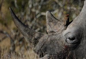 rhinoceros : This photo shows a bird sitting on the head of a white rhino