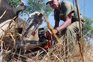 rhinoceros : Doctor Chris Forging cuts a rhino horn