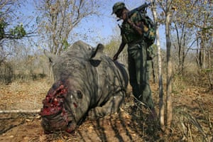rhinoceros : the corpse of a slaughtered Rhino