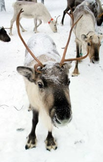 Reindeer in Finland.
