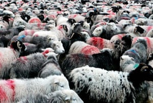 In pictures: material: Herdwick sheep