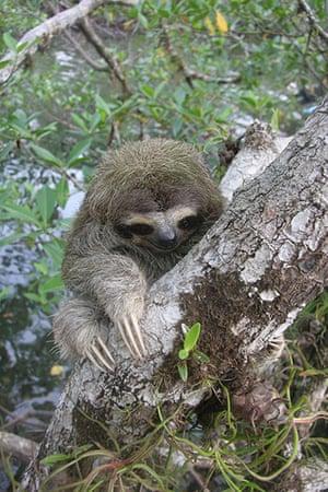 weird mammals: Pygmy three-toed sloth
