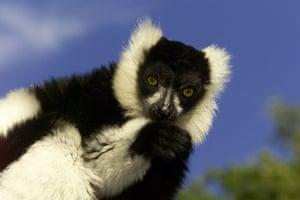 weird mammals: Black and white ruffed lemur