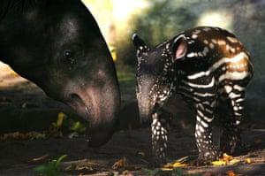 weird mammals: Asian tapir
