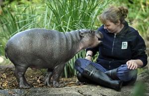 weird mammals: Pygmy hippopotamus