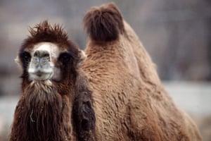 weird mammals: Bactrian camel