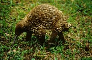 weird mammals: HR Long-beaked Echidna (Tachyglossus bruijni)