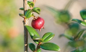 How to grow and cook Chilean guava   Food   The Guardian