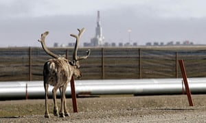 Caribou near a BP oil pipeline in Alaska