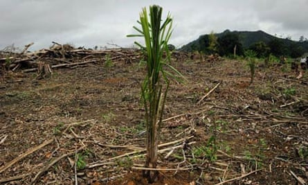 A young palm oil tree