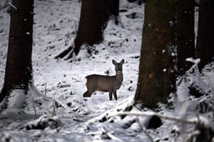 Week in willdlife: A deer is pictured in a snow-covered forest in Bavaria
