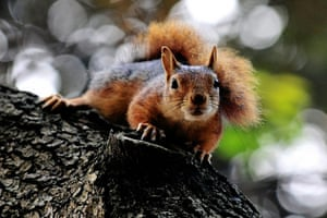 Week in willdlife: A squirrel climbs on a tree at the Yildiz park in Istanbul