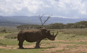 Week in wildlife:  a male white rhino grazing at the Lewa Wildlife Conservancy