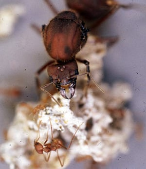 Week in willdlife: A queen leaf-cutter ant of the species Atta colombica