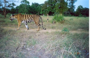 Week in willdlife: a tiger caught on camera trap