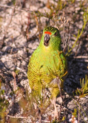 Week in willdlife: An adult Western gound parrot in Fitzgerald River National Park, Australia