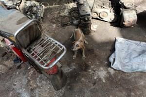 Karachi Pakistan: A stray dog roams the deserted alleyways of Shershah kabari (scrap) market