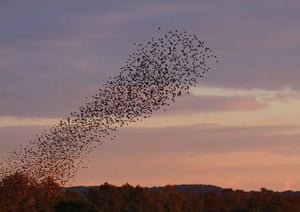 Starlings: Green Shoots Flickr group