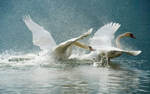 24 hours in pictures: Two swans challenge for food on the lake Zeller