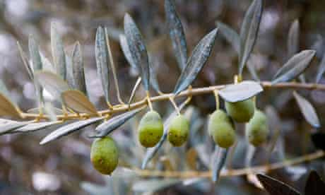 Spain olive tree