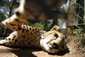 Week in wildlife: A female Cheetah is pictured in its enclosure, Kenya