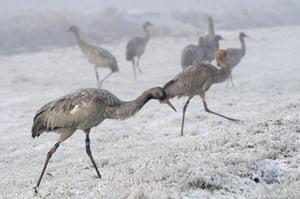 Week in wildlife: Great Crane Project, Somerset, Britain - 2010