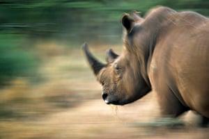 Week in wildlife: A Rhinoceros trots while pasturing in the Lewa Wildlife Conservancy