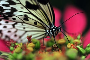 Week in wildlife: A Filipino tree nymph butterfly feeds on a poinsettia