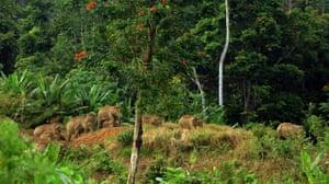 Week in wildlife: herd of endangered Sumatran elephants