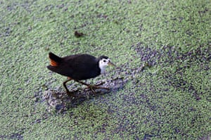 Week in wildlife: White-breasted Waterhen pictured at the Keoladeo Ghana bird sanctuary