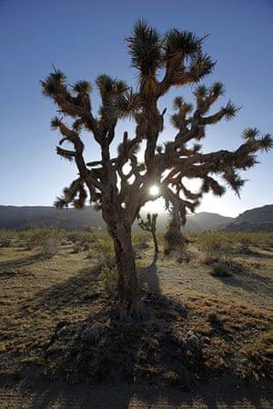 Week in wildlife: Joshua tree in the Mojave Desert