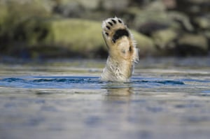 Week in wildlife: Polar Bears diving for food, Spitsbergen, Svalbard, Norway - Aug 2010