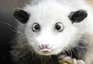 Week in wildlife: A cross-eyed opossum