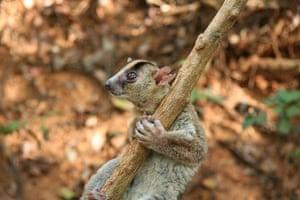 Week in wildlife 2: brand new species of lemur