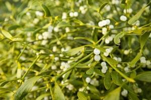 Week in wildlife 2: Campaign to save mistletoe