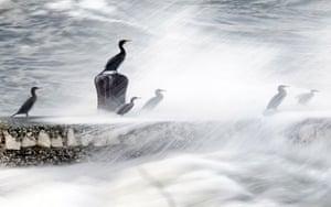 week in wildlife: A group of Cormorants perch on a pier as waves break in the Glens of Antrim