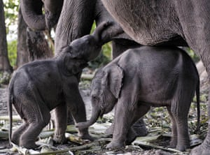 week in wildlife: One day old twins elephant baby and their mother, Orang National Park