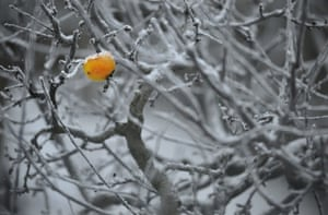 Winter Weather Europe: A frozen apple hangs from a snow covered apple tree in Budapest, Hungary